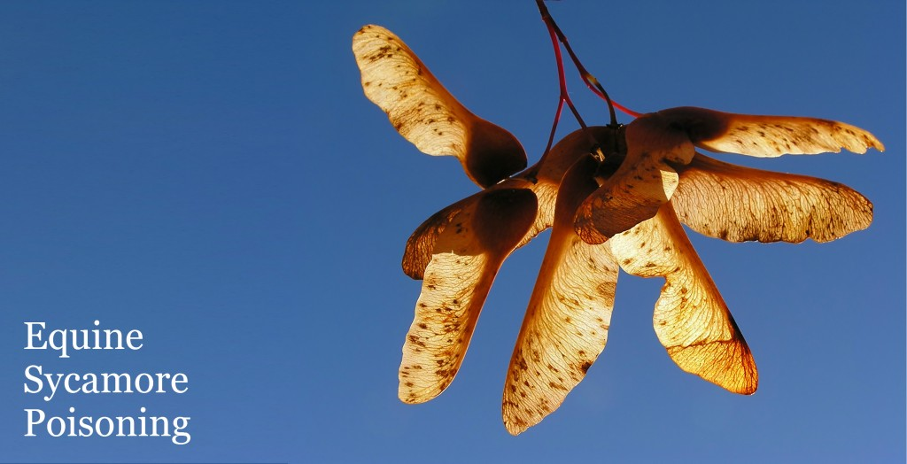 Photo of sycamore seeds