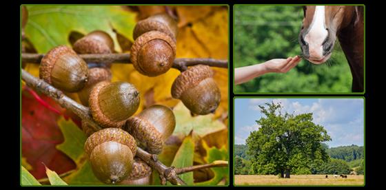 acorn-poisoning